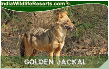 Indian Golden Jackal